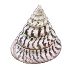 Top Shell